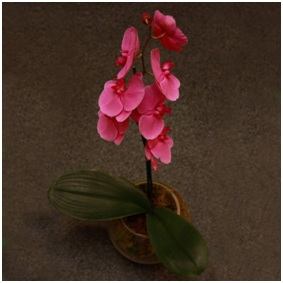 Phalaenopsis in Pot
