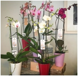 Orchid Plant (Contact Florist to Check Availability...)