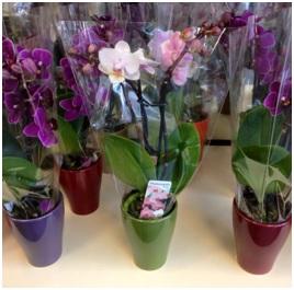 Orchid (Seasonal)