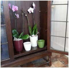 Orchid Plant (Needs a Few Days Notice...)