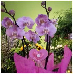 Orchid (Florist Choice)