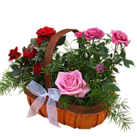 Pink Rose Planted Basket